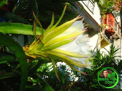 FOTO : Bunga buah naga di halaman rumah admin tampak dari samping