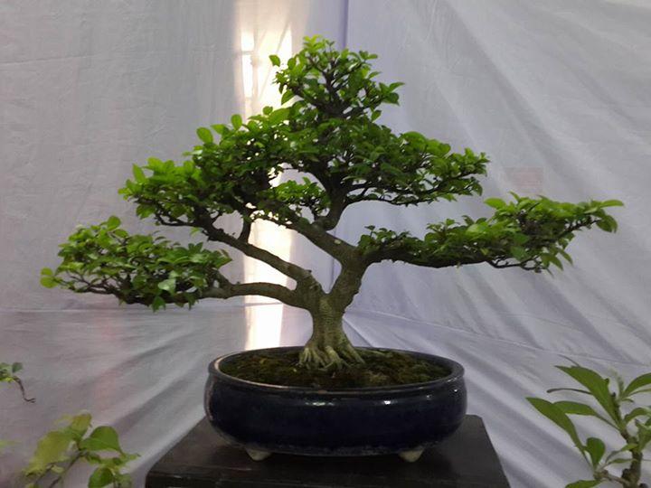 Bonsai Art Style The Basic Style Of Bonsai