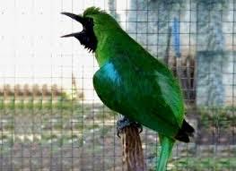 Download mp3 suara burung cucak hijau ngentrok untuk masteran.