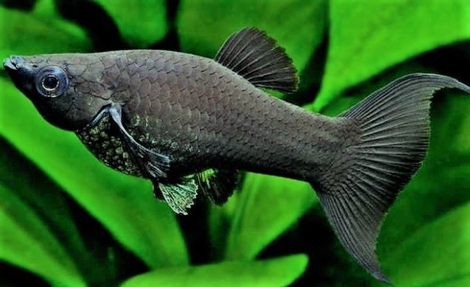 Black Molly Fish Care Tips For Beginners Aquarists