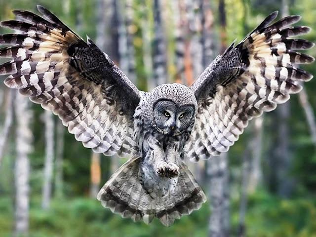 owl the bir background