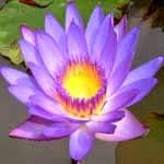 Usos da flor de lótus