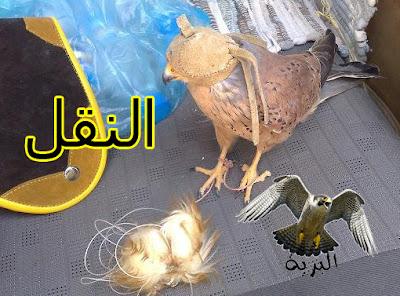 النقل و الشرياص  -  falcon trap