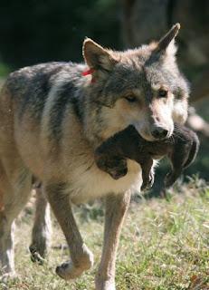 Resultado de imagen de el lobo iberico cachorros