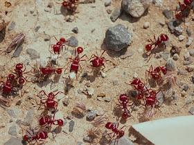 Hormiga-ant  Formicidae Eusocial