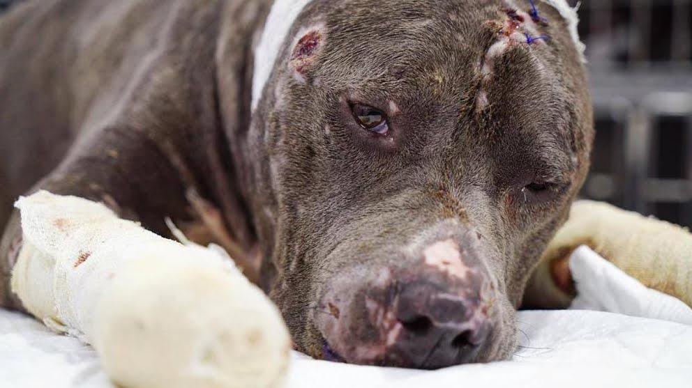Tragedia: Mamma e figlio sbranati da cane da combattimento Staffordshire-Terrier