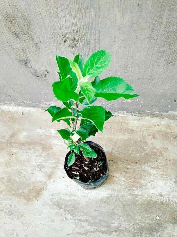Melayani Eceran! Pohon Apel Anna Tanaman Buah Apple Ana Malang Bibit Stella Unggul Kota Surabaya #Jual bibit buah