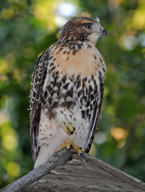 Red-tailed hawk, photo by Hubert J Steed