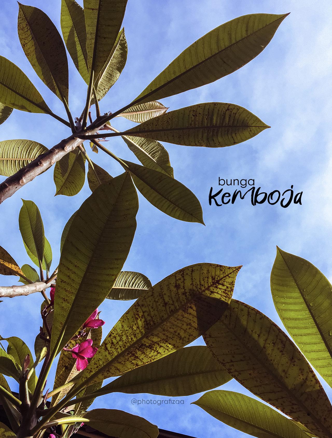 Pokok Bunga Kemboja Merah