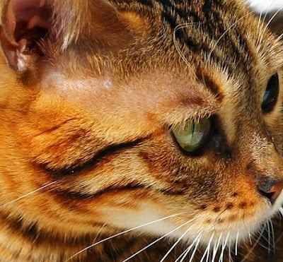 Savannah Cat vs Bengal Cat Personality, Size, Lifespan, Price