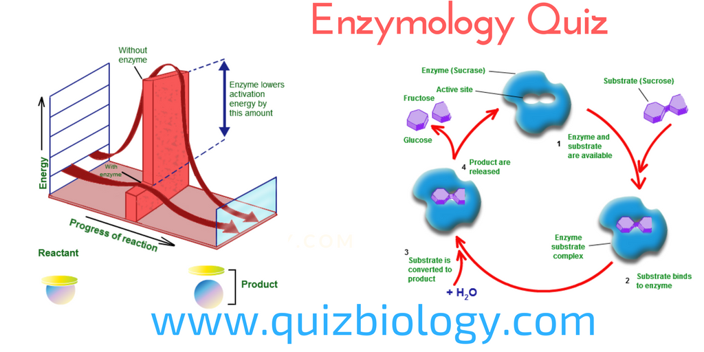 biology multiple choice quizzes biochemistry quiz on enzymology enzymes. Black Bedroom Furniture Sets. Home Design Ideas