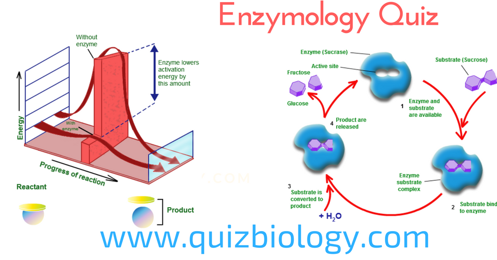 biology enzyme summary 213 enzymes (a) state that enzymes are globular proteins, with a specific tertiary structure, which catalyse metabolic reactions in living organisms all enzymes are globular proteins with a specific tertiary structure, which catalyse metabolic reactions in all living organisms.