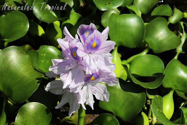 Descripción de la planta Eichhornia crassipes. Jacinto de Agua.