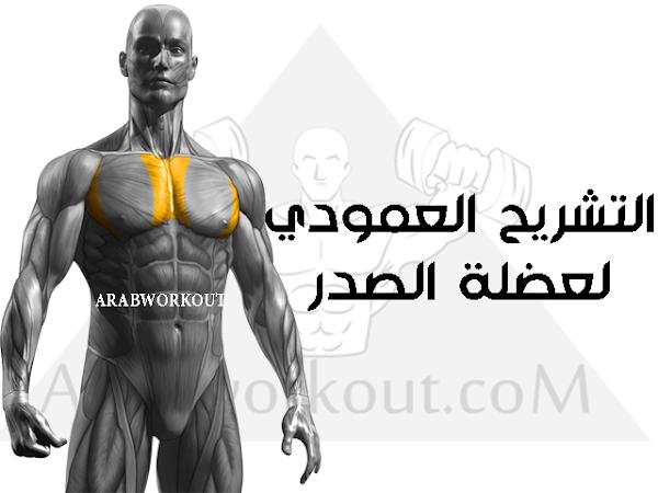 التشريح العمودي لعضلة الصدر