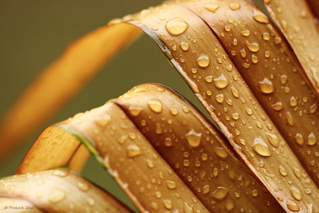 A Minimalist Photo of Multiple Water Droplets On Brown Palm Leaves