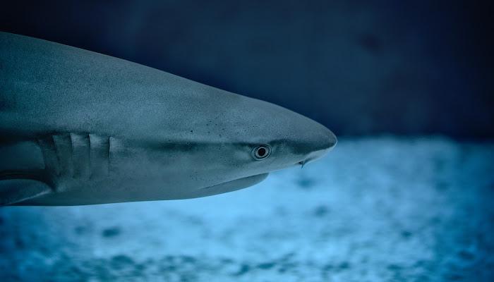 Vídeo registra momento em que tubarão é devorado por peixe maior