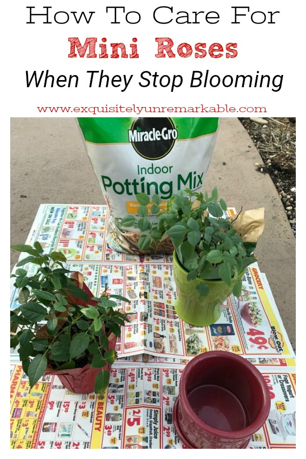 How To Care For Mini Roses When They Stop Blooming text over small roses bushes on newpaper