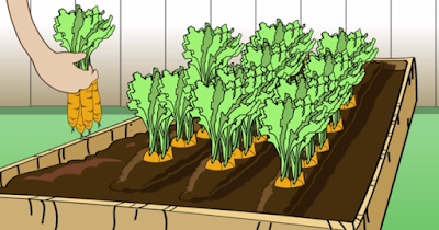 How To Plant Carrots By Seed at Home