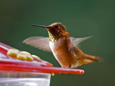 Photo of Rufous Hummingbird on feeder