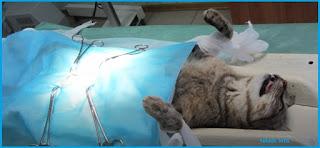 Steril Kucing Jantan dan Betina