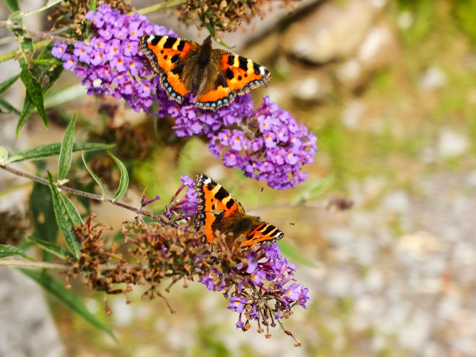 Two butterflies on flowers of the Butterfly Bush.