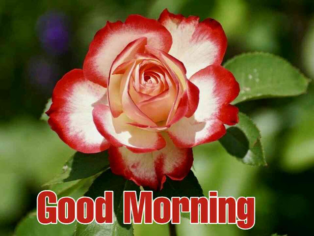 good morning with red rose flower