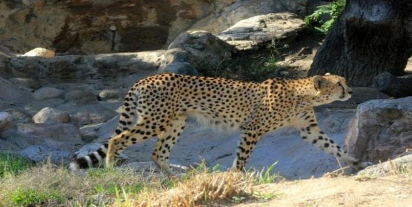 الفهد الصحراوي