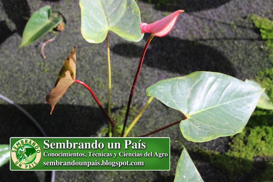 flor de anthurium en desarrollo