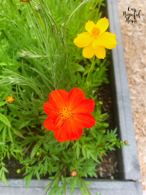 orange yellow cosmos garden flowers