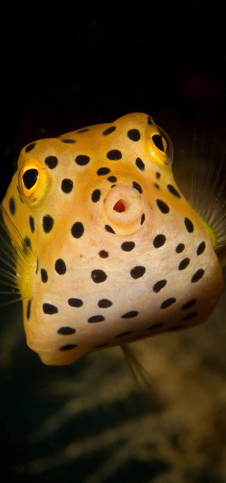 Picture of a yellow boxfish.