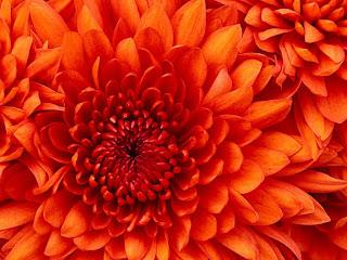 Czerwona chryzantema- kwiat