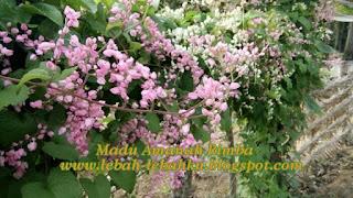 biji bibit benih bunga air mata pengantin airmata pengantin pakan lebah kesukaan lebah madu klanceng kelulut trigona tawon lanceng