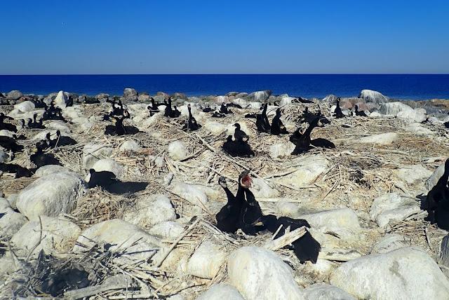 Kivikkoinen luoto, jolla merimetsonpoikaset pesissään aurinkoisena päivänä.