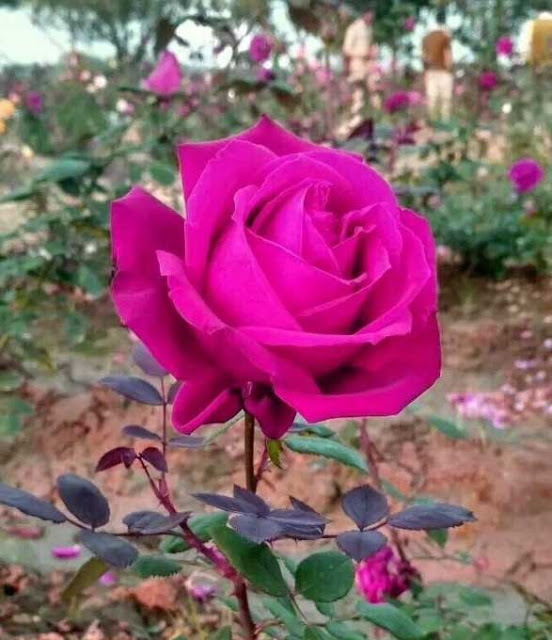 Free images and pictures on theme: Beautiful Flowers Rose Images Hd Whatsapp Dp - រូបភាពប្លុក ...