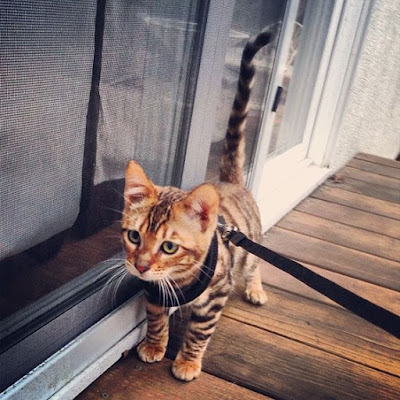 Toyger Cat Tiger breed personality