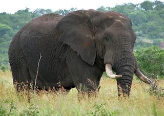 Fakta & Informasi Menarik tentang Gajah