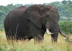 22 Fakta & Informasi Menarik tentang Gajah