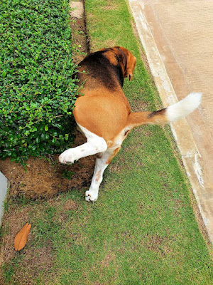 Small dogs are less likely to be house trained than big dogs. Here's why