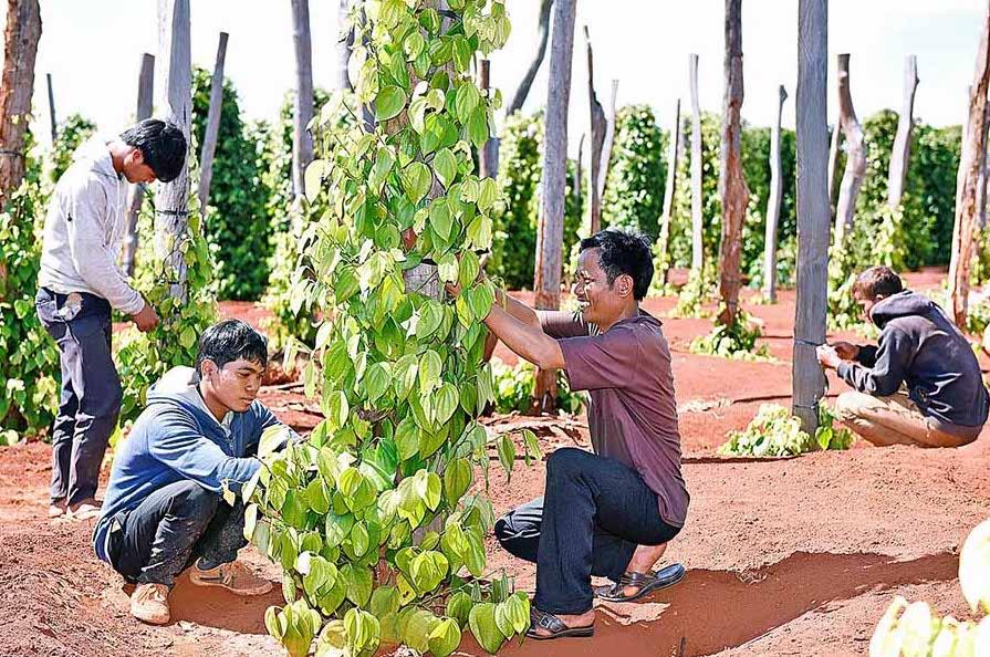 Chung sức hỗ trợ người trồng hồ tiêu Gia Lai