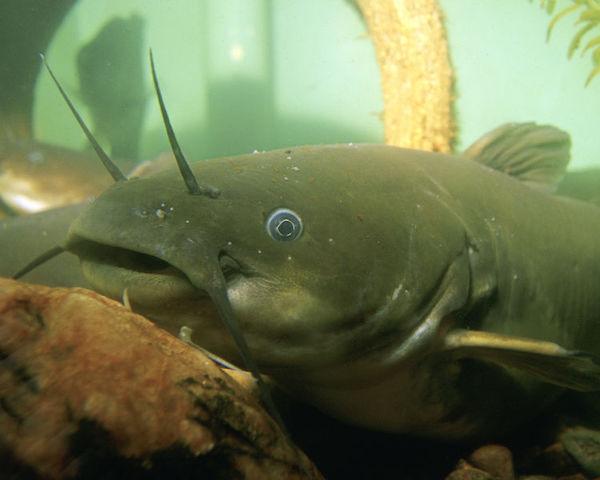Yellow Bullhead Catfish Kentucky