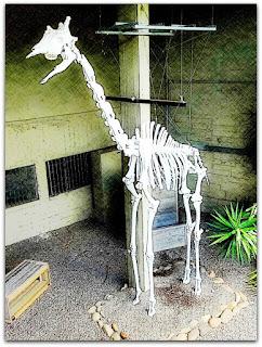 Esqueleto de Girafa - Museu de Ciências Naturais da Fundação Zoobotânica, Jardim Botânico de Porto Alegre