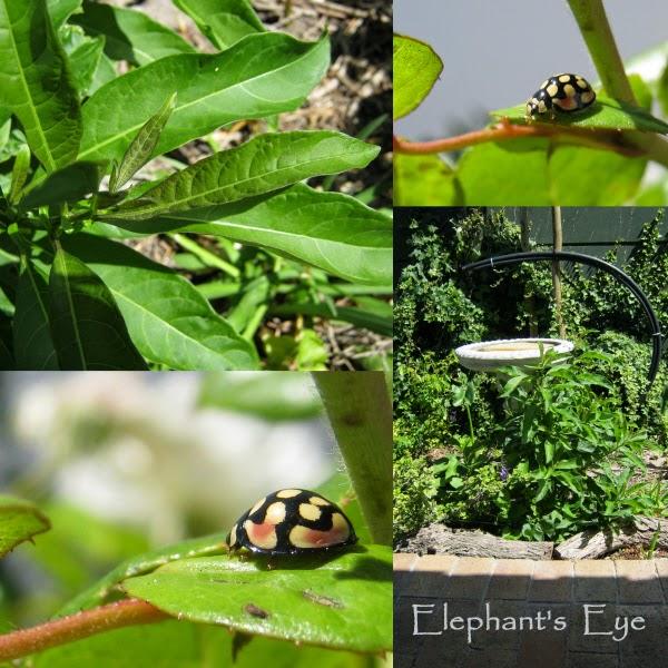 Ladybird and volunteer pepper plant?