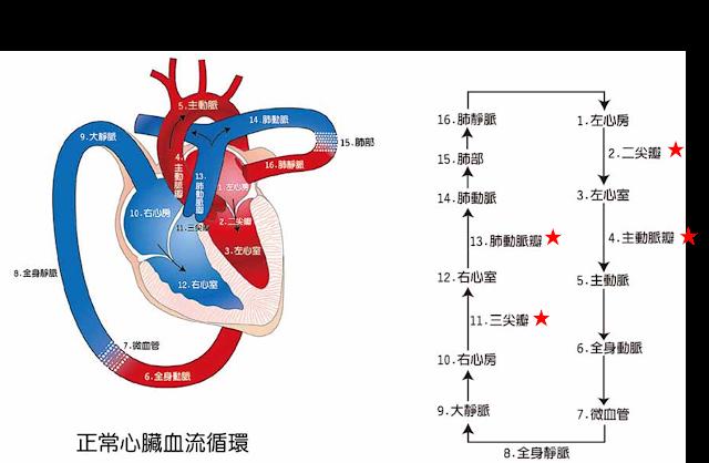 圖中紅色星號為心臟四個瓣膜所負責阻止逆流的位置