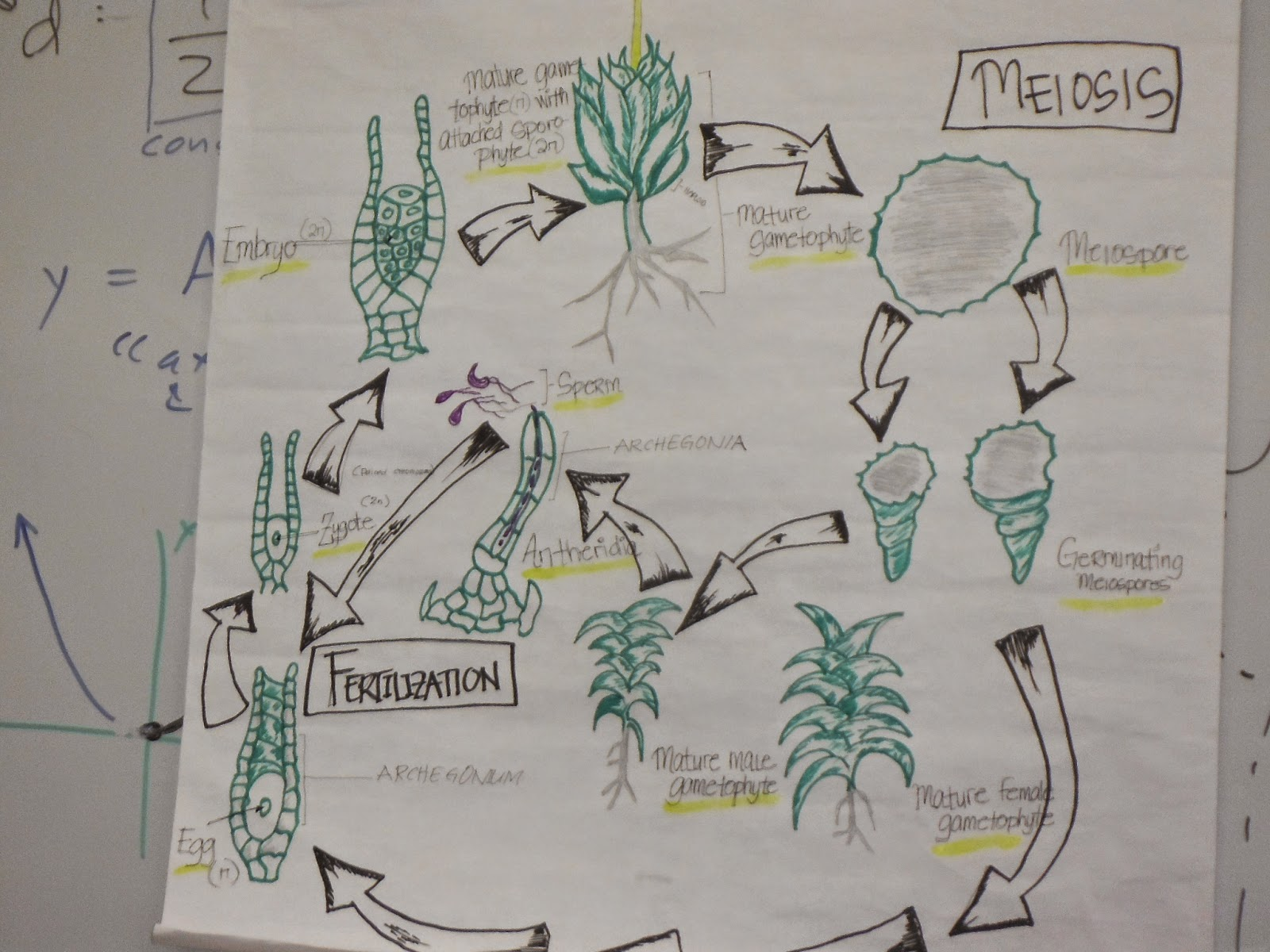 life cycle of a labeled moss diagram wiring for extension cord lycophyte and monilophyte student presentations