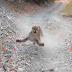 Puma persegue um homem por mais de 6 minutos enquanto corria em uma trilha; vídeo:
