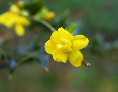 Jazmín de invierno (Jasminum nudiflorum)