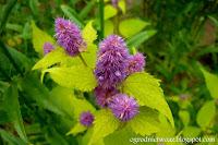 Kłosowiec fenkułowy 'Golden Jubilee'- Agastache foeniculum 'Golden Jubilee'