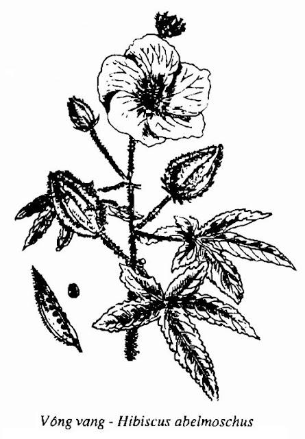 Hình vẽ Vông Vang - Hibiscus abelmoschus - Nguyên liệu làm thuốc Đắp vết thương Rắn Rết cắn