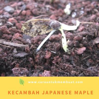 Kecambah Japanese Maple