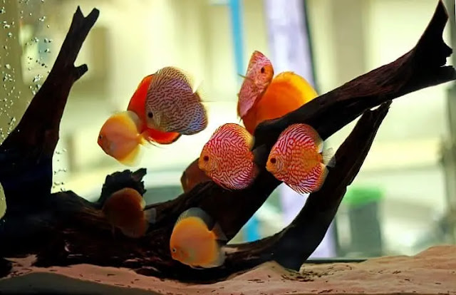 Discus Fish Care Guide and Breeding